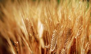 ارتفاع-انتاج-القمح-في-منطقة