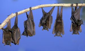 لا تجزع لرؤيتها.. الخفافيش توفر مليار دولار للزراعة