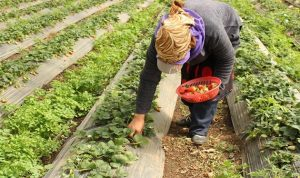 التهريب «يزدهر» والقطاع الزراعي يخسر