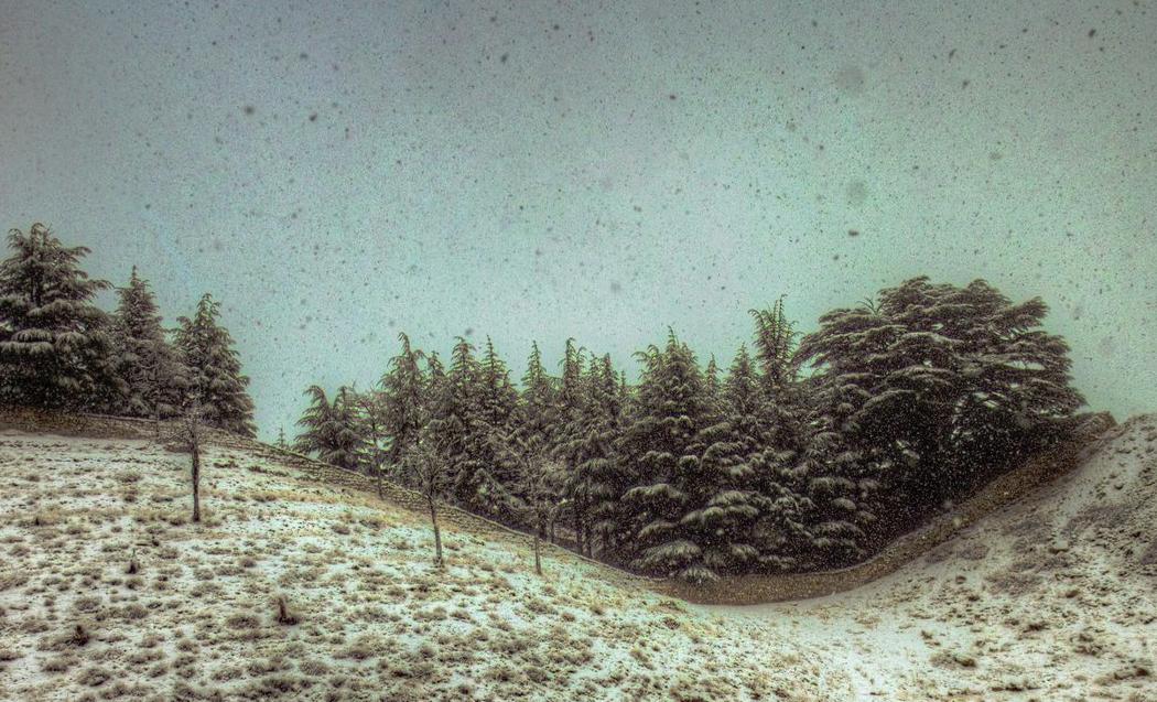 snow-cedre