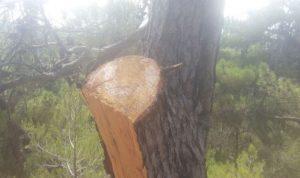 قطع ما يزيد عن 50 شجرة صنوبر في خراج عكار والاهالي يناشدون المسؤولين التدخل