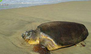 بالصور… إنقاذ سلحفاة بحرية على شاطىء الرميلة