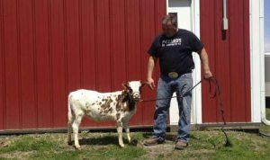بالفيديو… سلالة نادرة من الأبقار القزمة!
