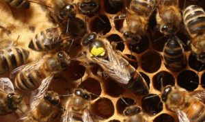 المبيدات الحشرية تهدد النحل