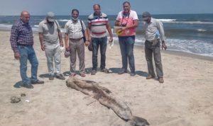 حيوان غريب على شاطئ جمصة في مصر