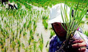 العراق حظر زراعة الأرز والذرة بسبب شح المياه