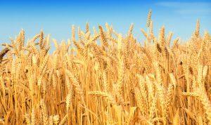 عراقيل إدارية تمنع الاستفادة من إنتاج القمح اللبناني