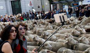 بالصور: الأغنام تملأ شوارع مدريد