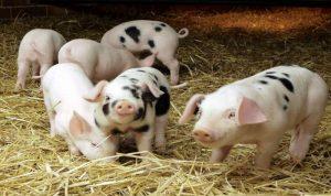 تفشي حمّى الخنازير في شمال الصين