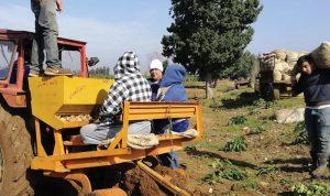زراعة البطاطا بدأت في عكّار… ماذا عن التسويق؟