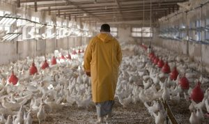 بريطانيا تكتشف بؤرة جديدة لإنفلونزا الطيور في أراضيها