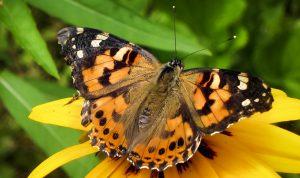 بالفيديو: ظهور كثيف لفراشات في الليطاني.. والسبب؟