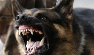 كلب شرس هاجم مواطنة في القصيبة