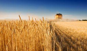 """مزارعو القمح خارج حسابات """"بيدر"""" الدولة"""