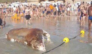 شاطئ إسرائيلي يلفظ بقرة نافقة للمرة الثانية خلال 9 أيام