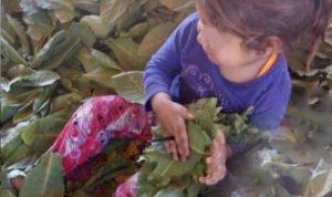 75% من الأطفال السوريين في البقاع يعملون في الزراعة