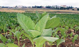 اتحاد نقابات العاملين في زراعة التبغ والتنباك عرض لمشاكل القطاع وشراء المحصول
