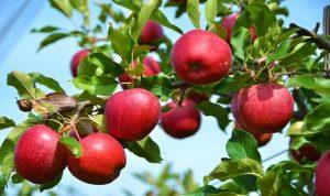 """""""يوم التفاح اللبناني"""".. """"تفاح بلادك إلك ولولادك"""""""