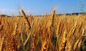مزارعو القمح والحبوب في البقاع هنأوا وزير الزراعة الجديد