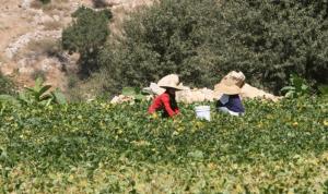الأزمة تضرب في المستلزمات الزراعية أيضاً: المساحات المزروعة تراجعت 60%!