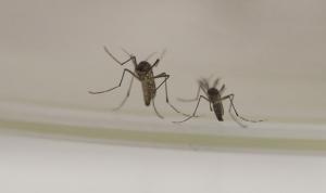 هل ينقل البعوض فيروس كورونا؟