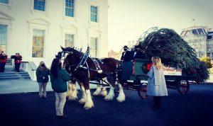 بالفيديو والصور- ميلانيا ترامب تستقبل شجرة العيد في البيت الأبيض