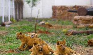 في برشلونة… إصابة 4 أسود في حديقة حيوان بكورونا