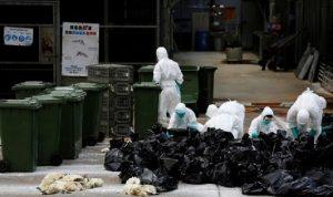 اليابان تعدم الملايين من طيور الدجاج بسبب إنفلونزا الطيور
