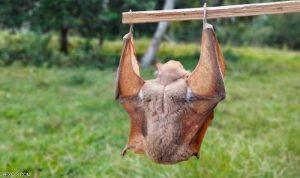 خطر يهدّد اللقاحات… كورونا جديد يظهر على خفافيش بريطانية!