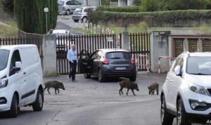 الخنازير البرية تغزو روما (فيديو)