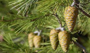 جريمة بيئية في القبيات… قطع أكثر من 20 شجرة صنوبر معمرة!
