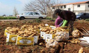 عكار: مزارعو البطاطا يشكون إفلاسهم