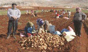 شروط أردنيّة تعجيزيّة لاستيراد البطاطا من لبنان